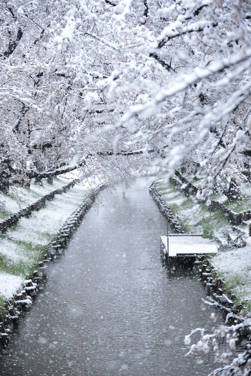 「降り積もる雪と河川敷の桜並木」の写真