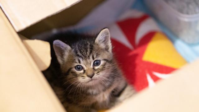 ダンボールの中から見上げる子猫の写真