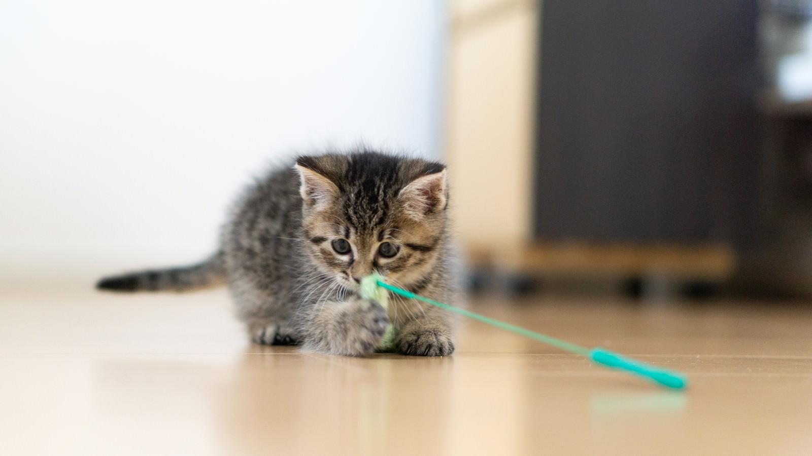 「ねこじゃらしのおもちゃで遊ぶ子猫」の写真