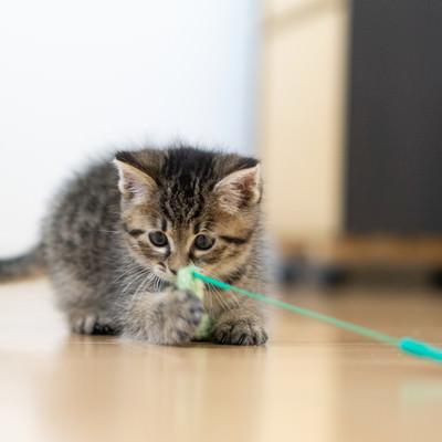 ねこじゃらしのおもちゃで遊ぶ子猫の写真
