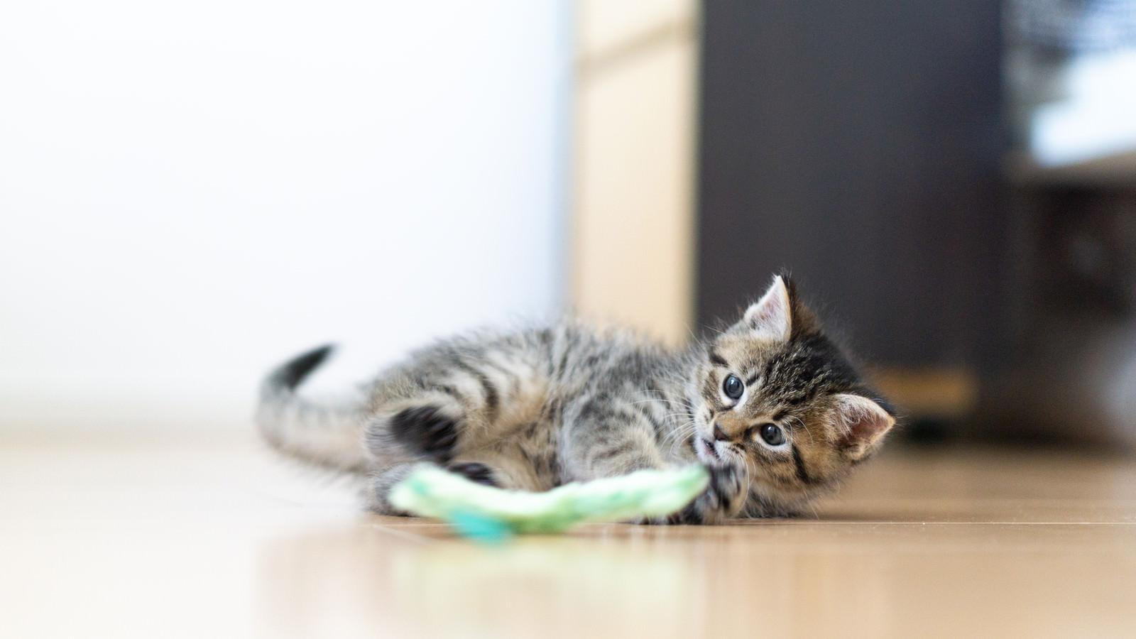 「ねこじゃらしのおもちゃでじゃれる子猫」の写真