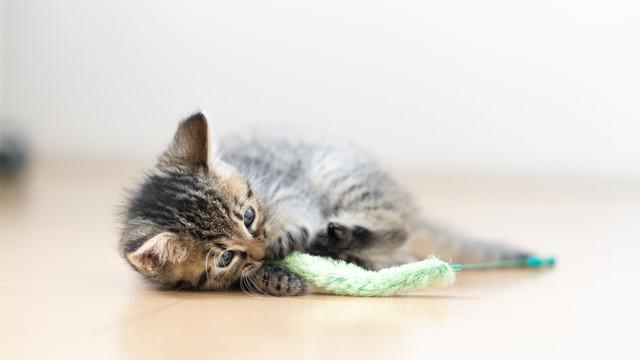 ねこじゃらしで戯れる子猫の写真