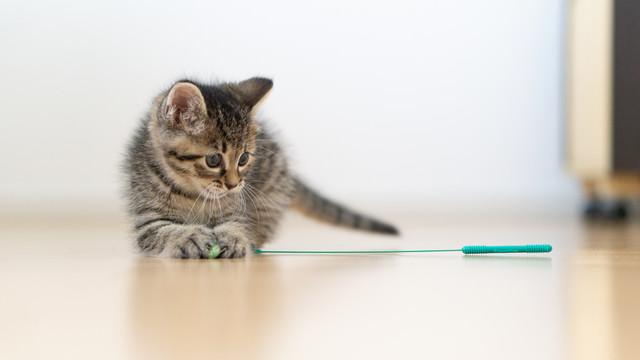 ねこじゃらしに興味をもった子猫の写真