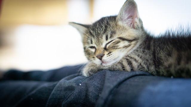 ソファーで寝落ちする子猫ちゃんの写真