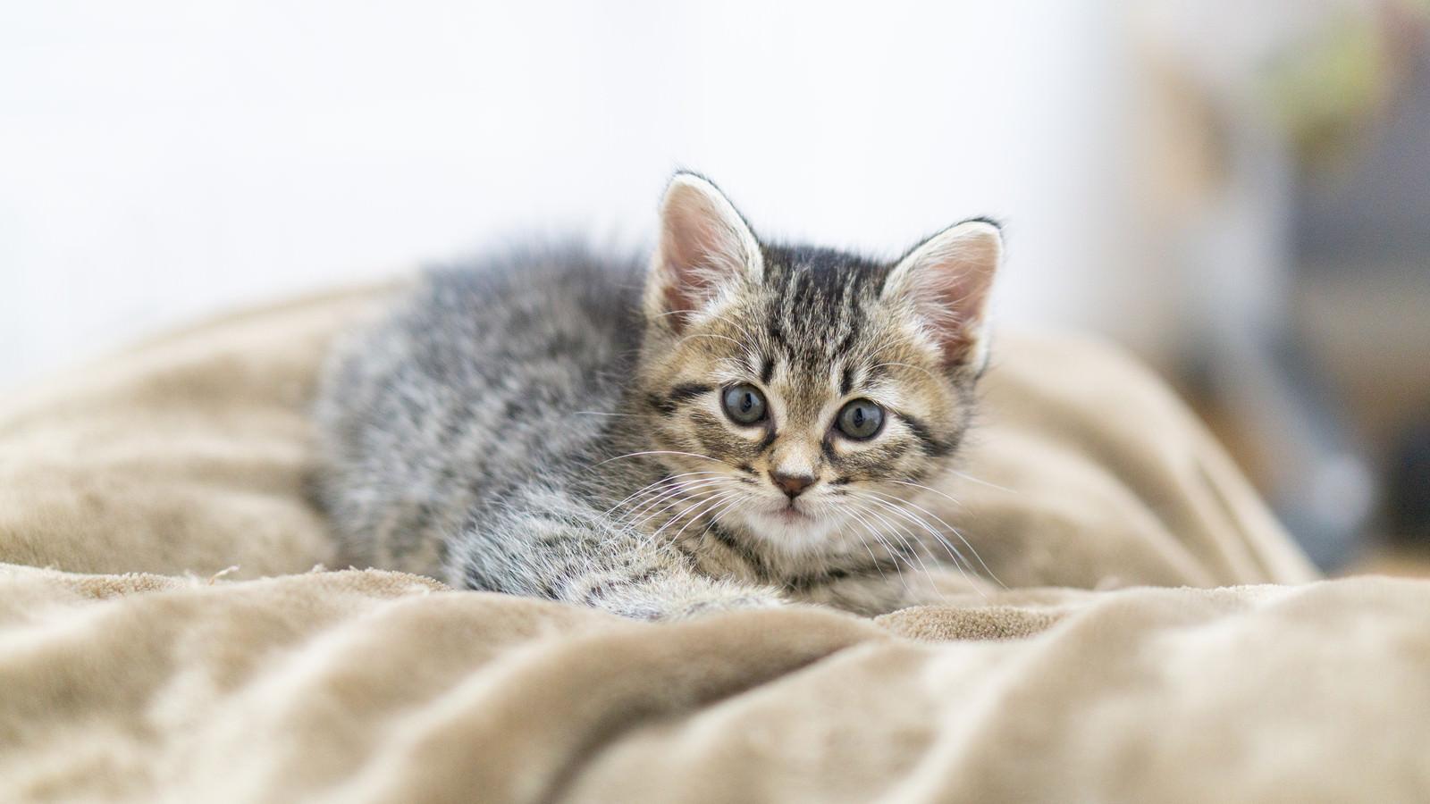「つぶらな瞳でこちらを見る子猫」の写真