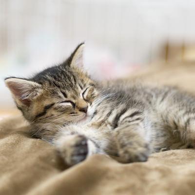 お昼寝子猫の写真