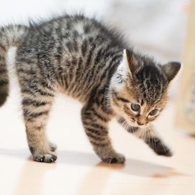 よちよち歩きの子猫ちゃんの写真
