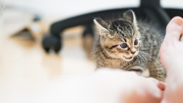 飼い主の足の臭いに怒りを覚える子猫の写真