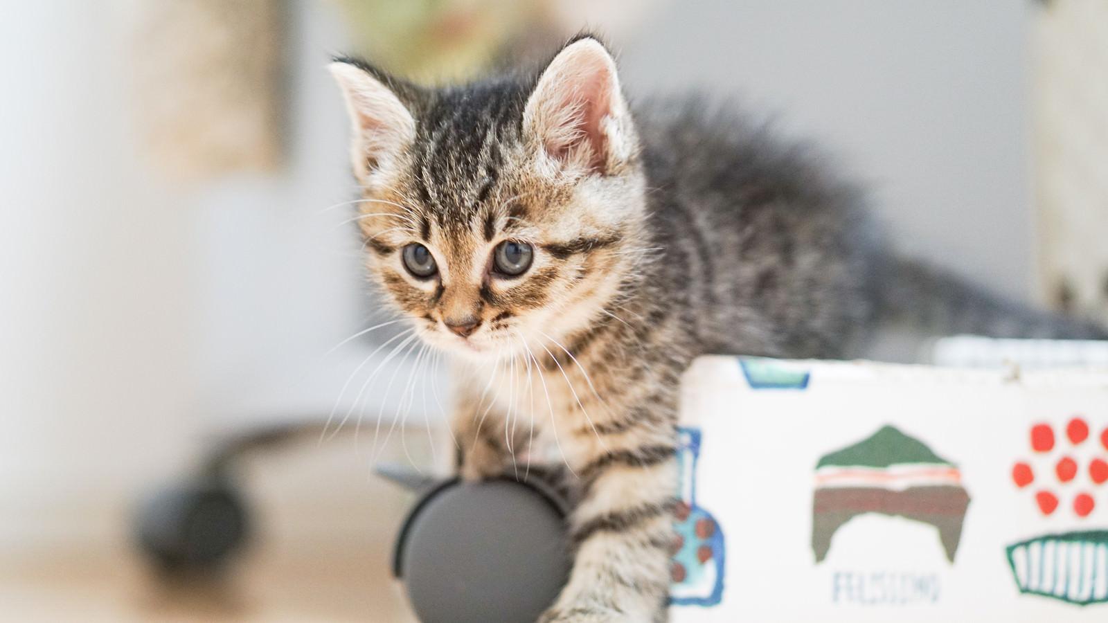 「なにかに興味津々の子猫」の写真