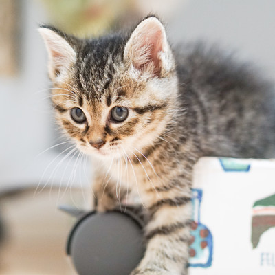 なにかに興味津々の子猫の写真
