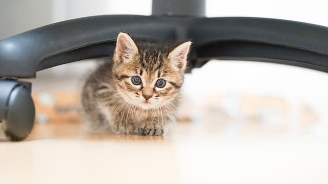 つぶらな瞳で顔を出す恥ずかしがりやの子猫の写真