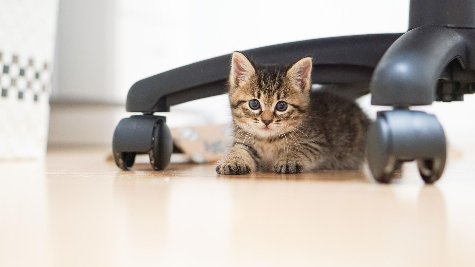 「オフィスチェアーの下からつぶらな瞳で見つめる子猫」の写真