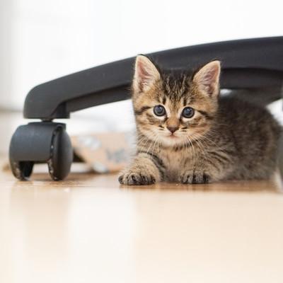 オフィスチェアーの下からつぶらな瞳で見つめる子猫の写真