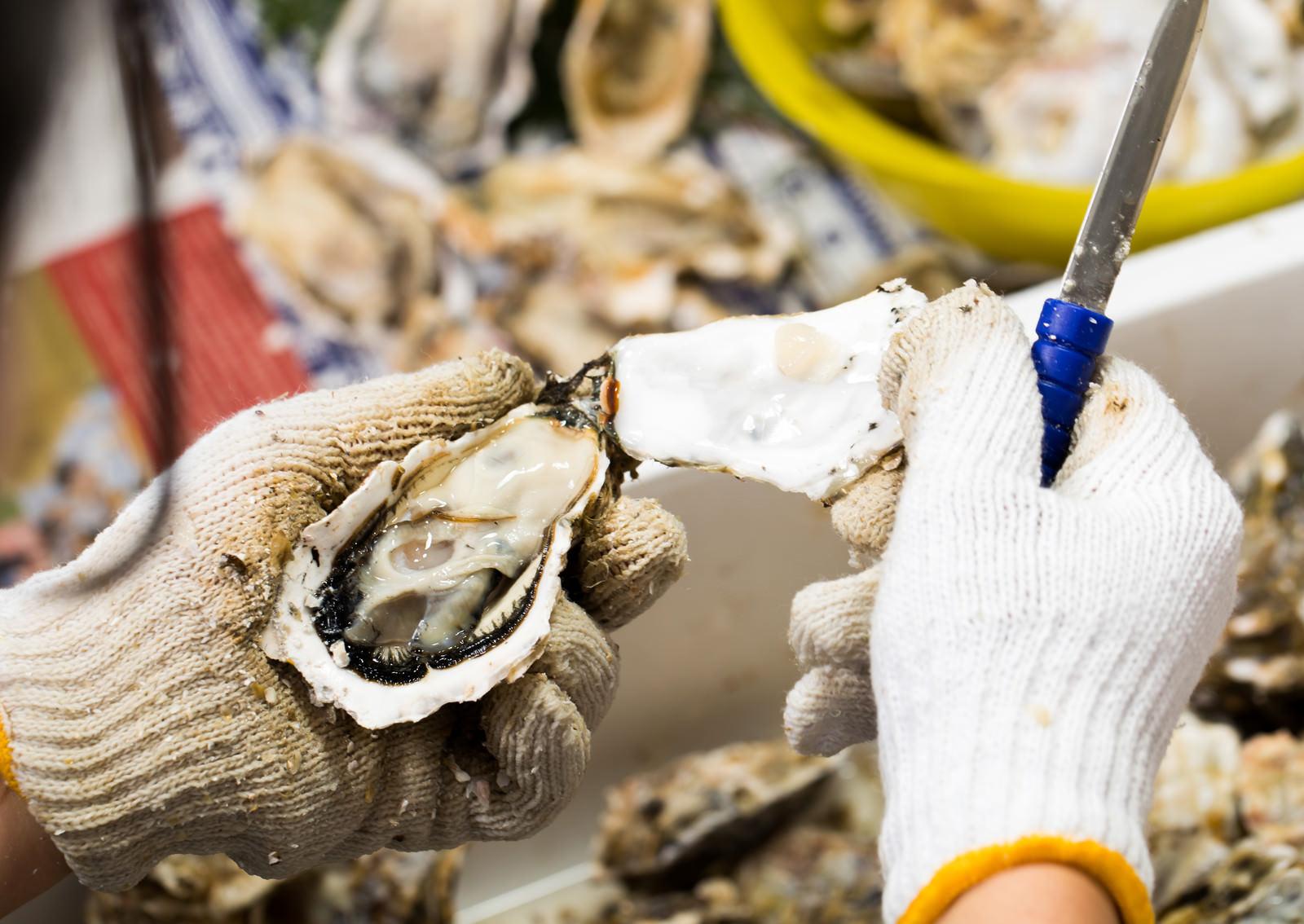 「牡蠣の殻をむく様子」の写真