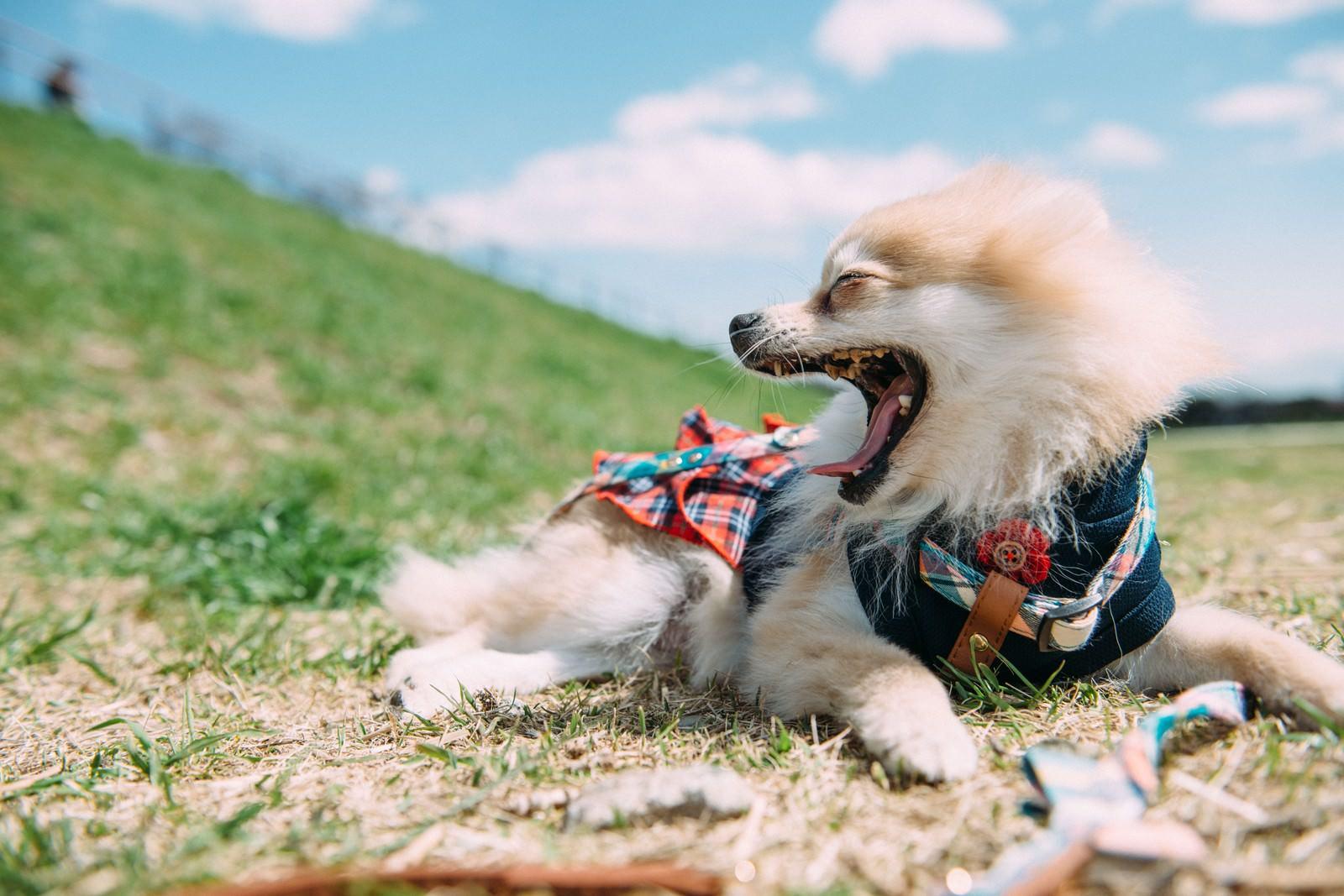 「大きくあくびをする小型犬」の写真
