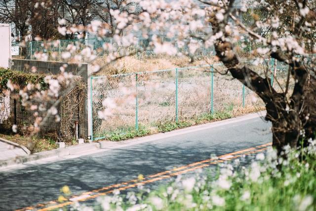 空き地と桜の写真