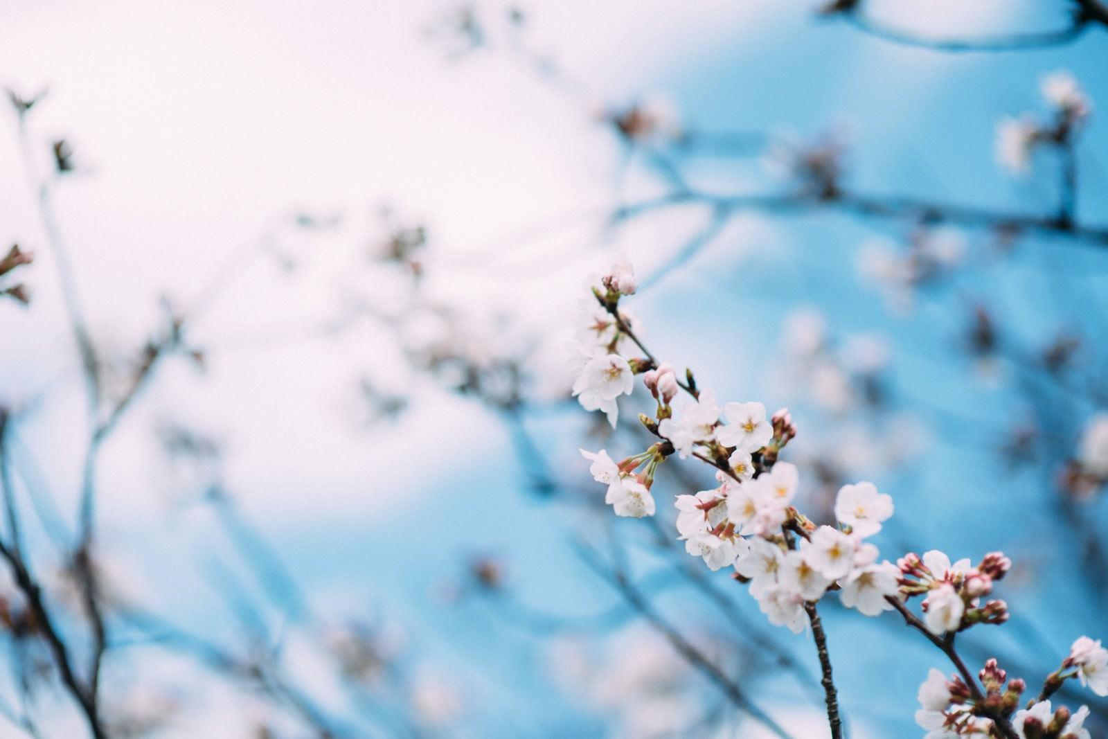 「青い空と桜の花」の写真