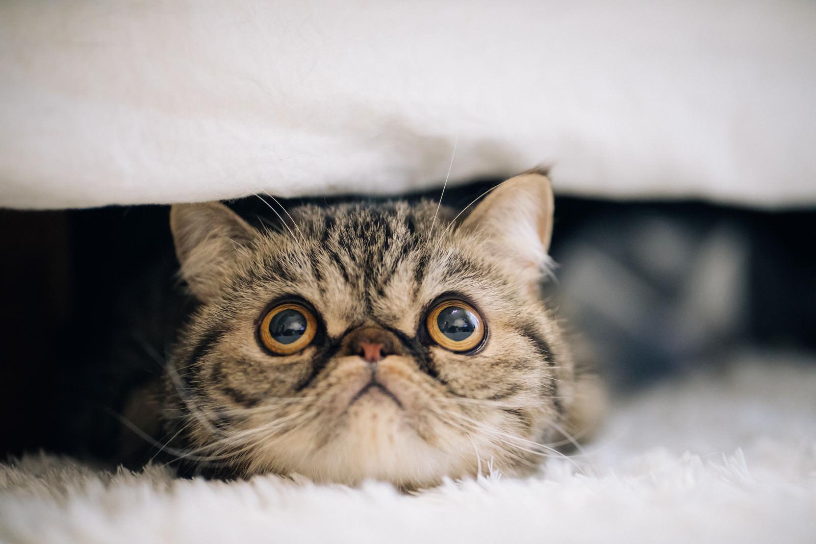 「目を見開いた猫(エキゾチックショートヘア)目を見開いた猫(エキゾチックショートヘア)」のフリー写真素材を拡大