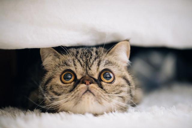 目を見開いた猫(エキゾチックショートヘア)の写真