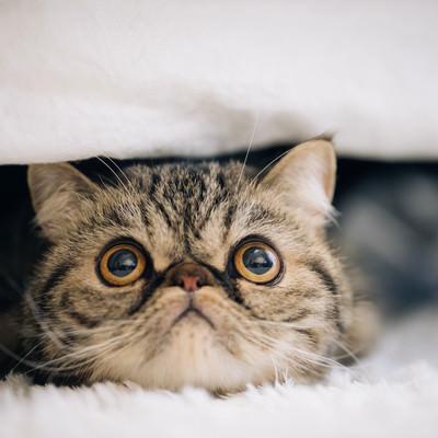 「目を見開いた猫(エキゾチックショートヘア)」の写真素材