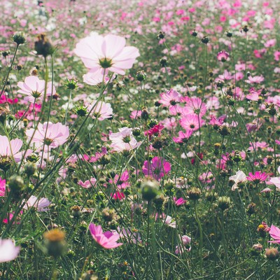 「コスモス畑」の写真素材