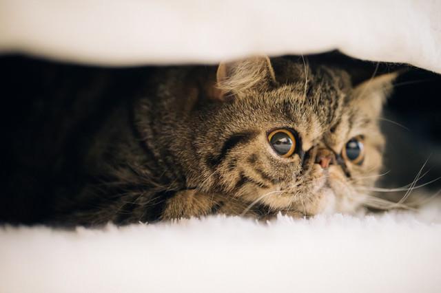 短毛ペルシャ猫。愛嬌のあるエキゾチックショートヘアの写真
