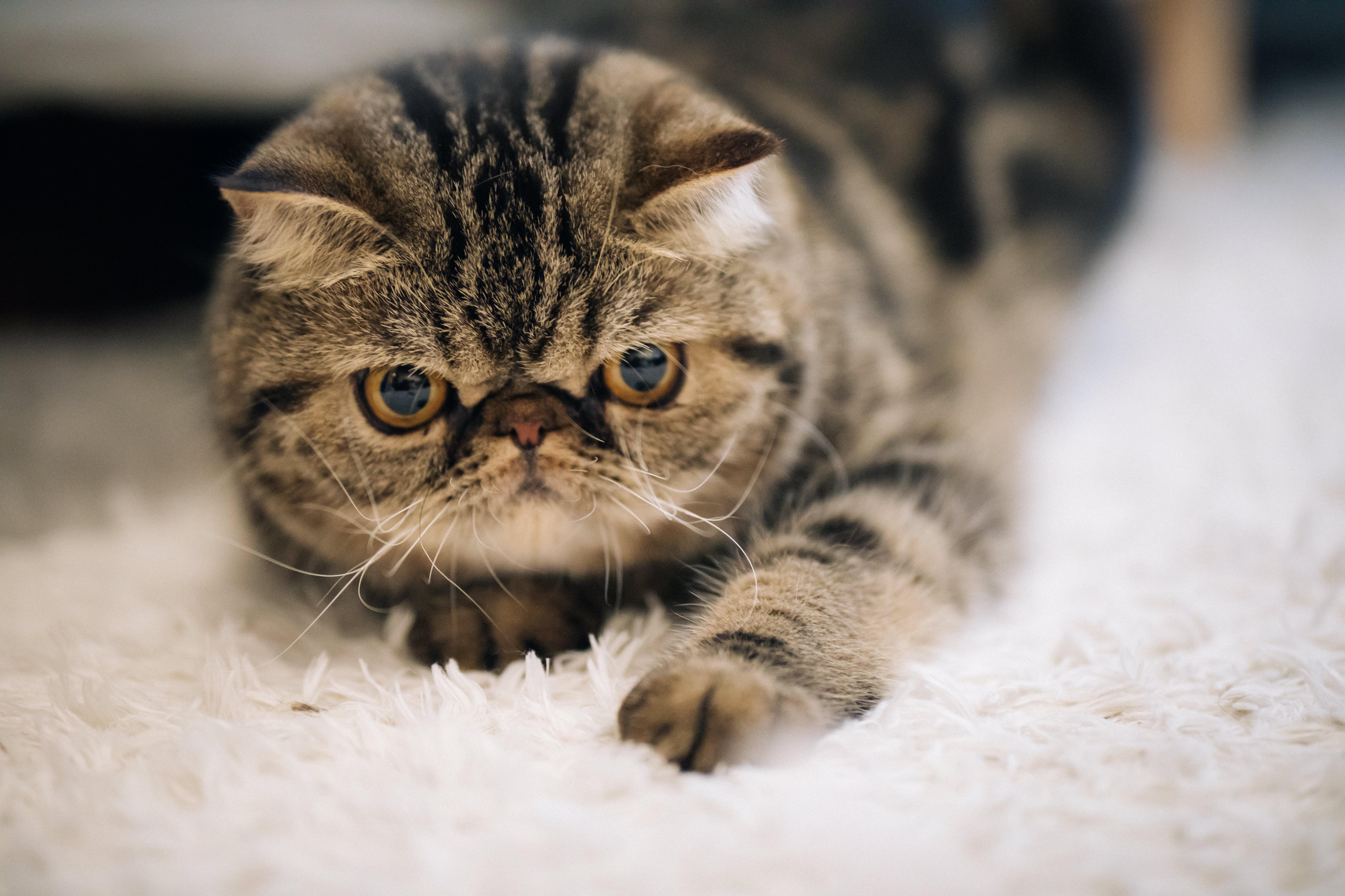 不機嫌な猫 エキゾチックショートヘア の写真 画像 フリー素材 ぱくたそ