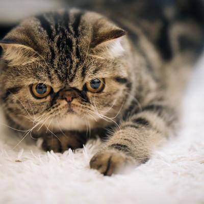「不機嫌な猫(エキゾチックショートヘア)」の写真素材