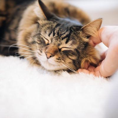 「撫でてたら気持ちよさそうに寝た猫」の写真素材