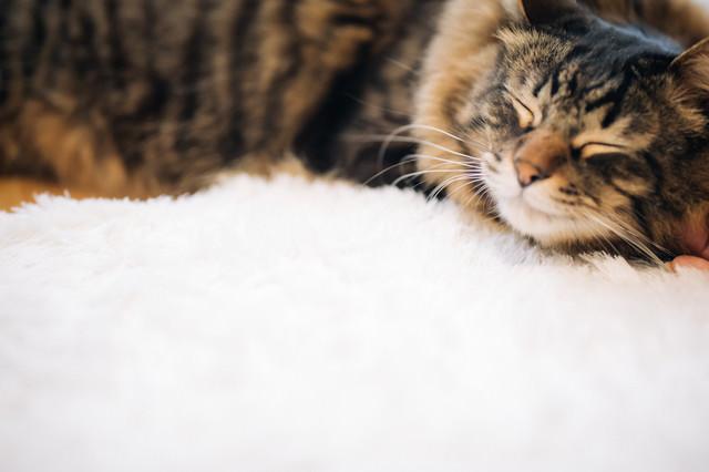 ふかふかで眠る猫の写真