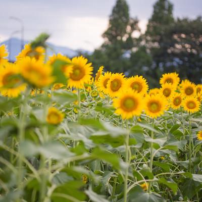 「日が暮れるひまわり畑」の写真素材