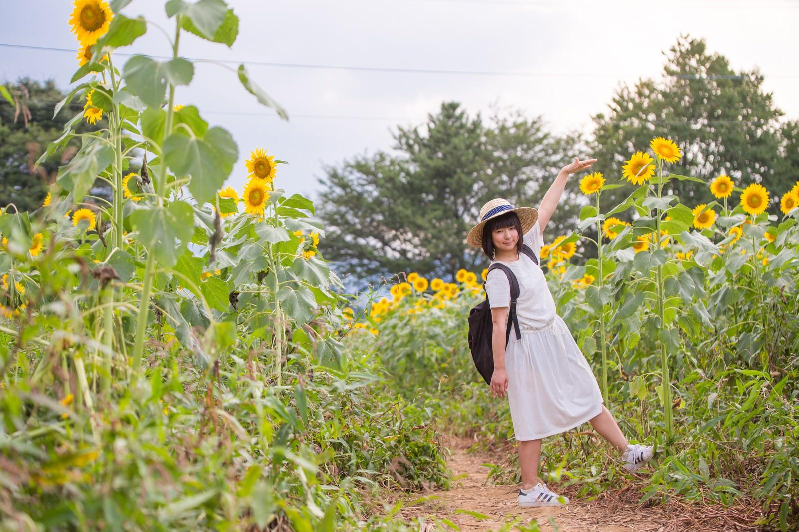 「背丈よりも高い向日葵」の写真[モデル:にゃるる]