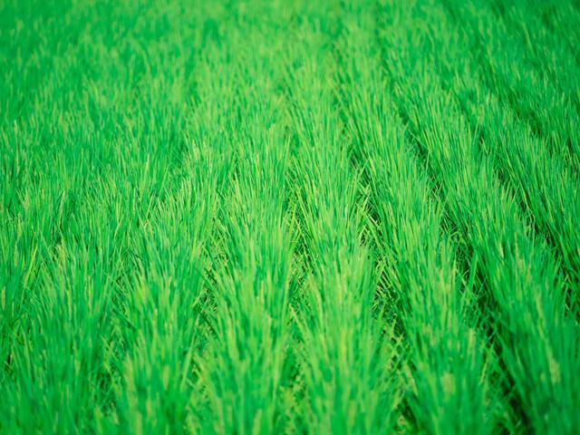 夏の田んぼの写真