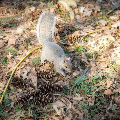 公園で餌を物色する野リスの写真