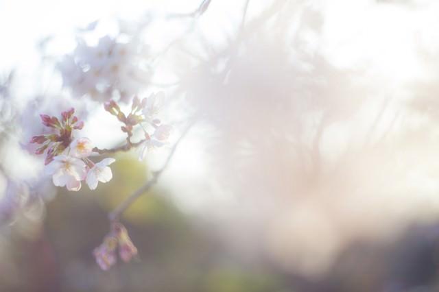 桜-散り往く想いの写真
