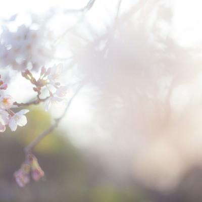 「桜-散り往く想い」の写真素材