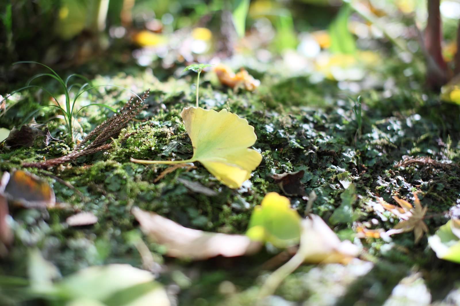 「イチョウの落ち葉で秋を知る」の写真