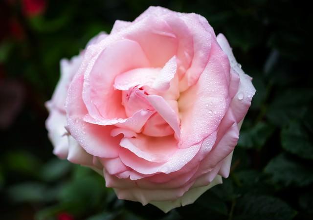 雨水とピンクのバラの写真