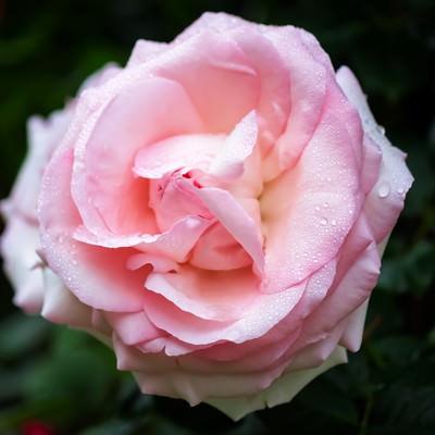 「雨水とピンクのバラ」の写真素材