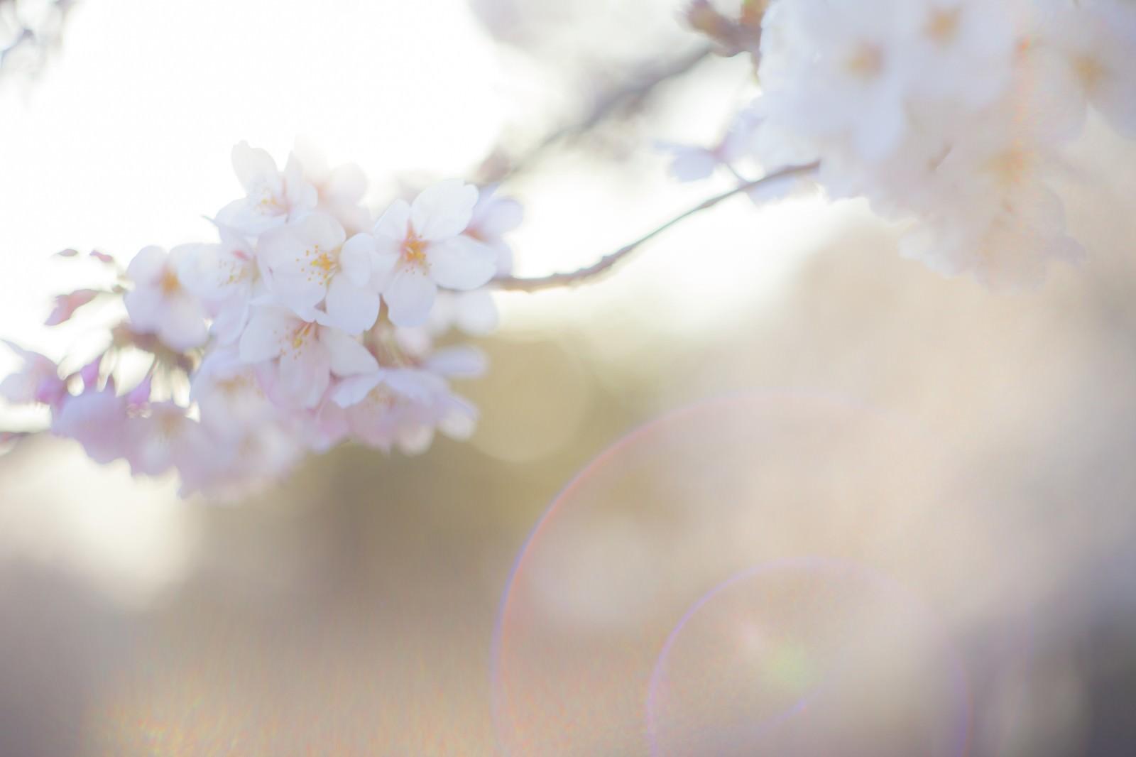 「桜-さよなら。またいつの日か」の写真