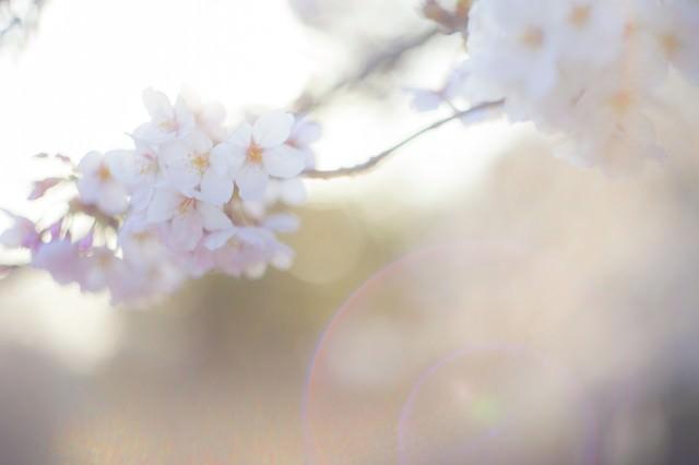 桜-さよなら。またいつの日かの写真