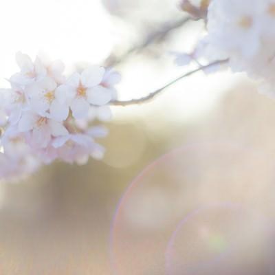 「桜-さよなら。またいつの日か」の写真素材