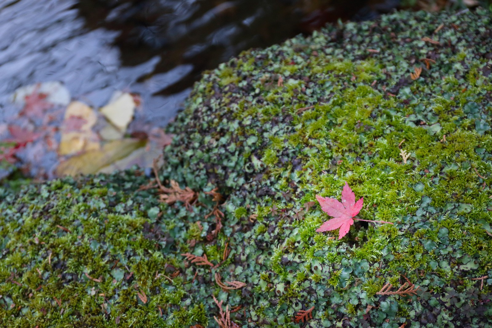 「そうだ旅に行こう、秋の紅葉と苔」の写真