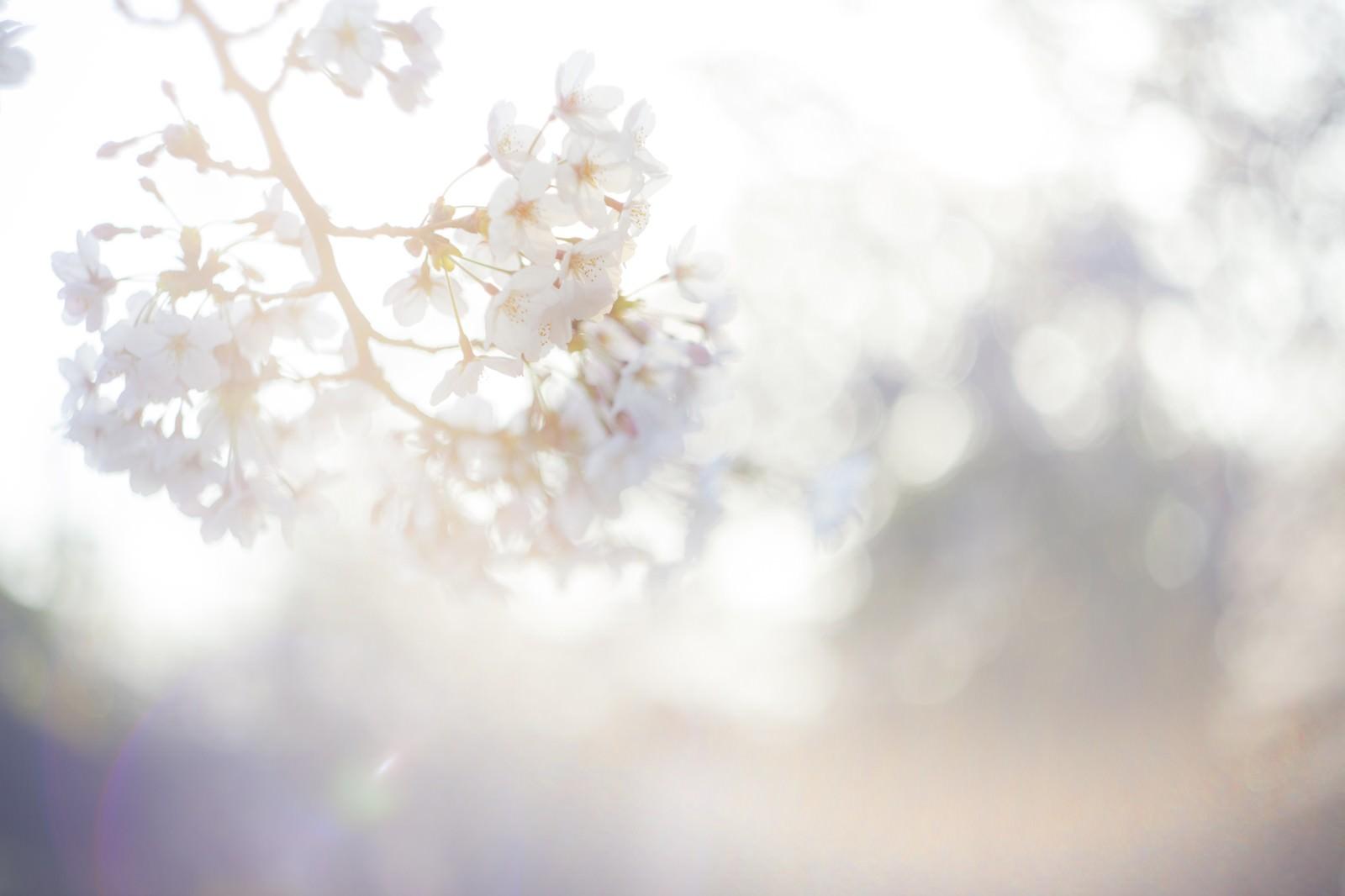 「桜-春の訪れ」の写真