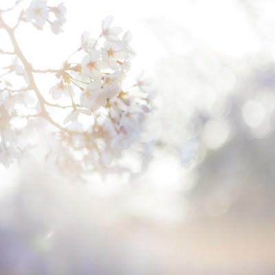 「桜-春の訪れ」の写真素材