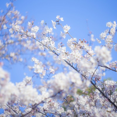 「桜-新生活」の写真素材