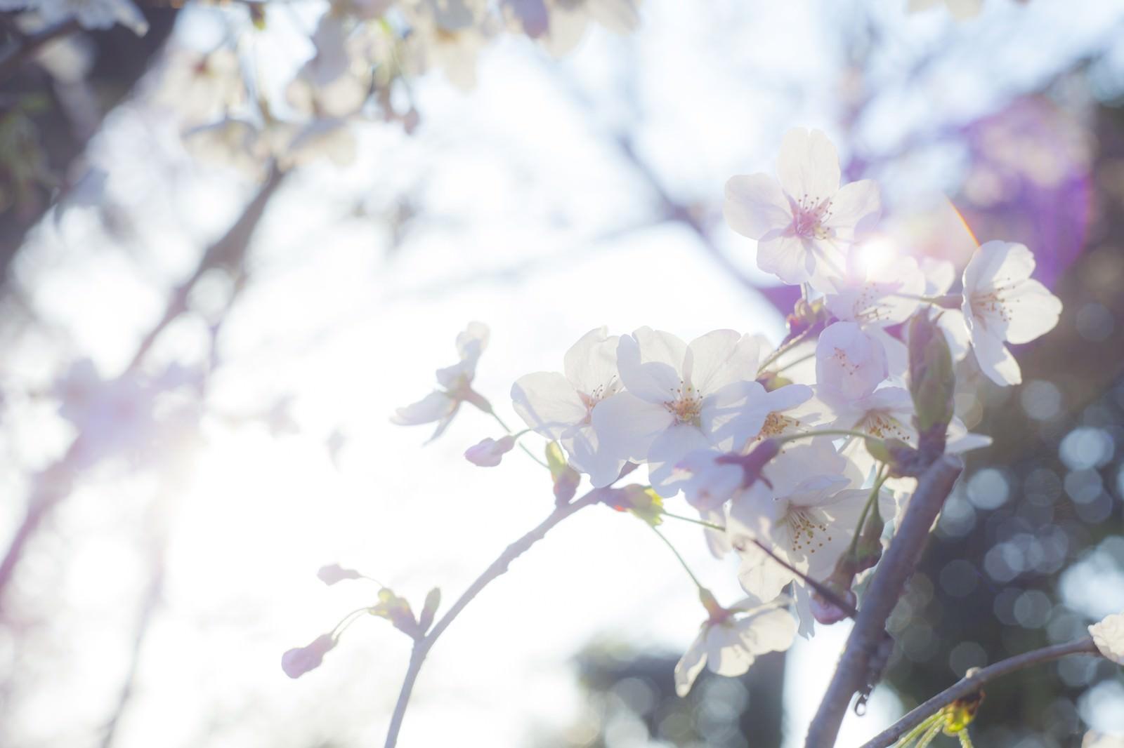 「桜-ふとした想い」の写真