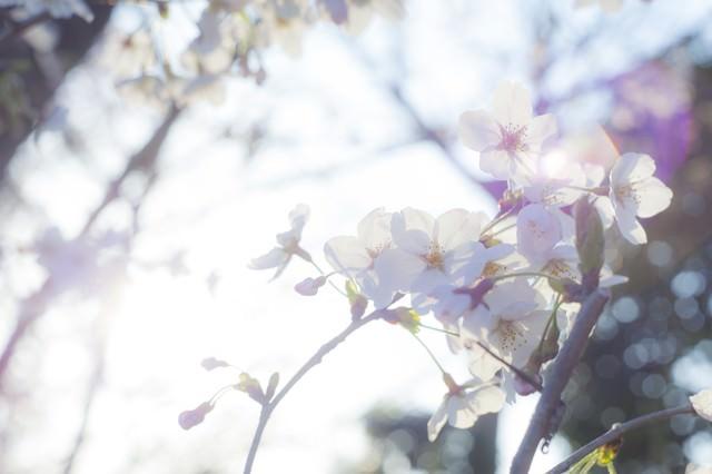桜-ふとした想いの写真