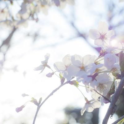 「桜-ふとした想い」の写真素材