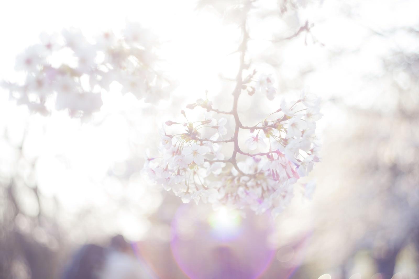 「桜-期待感」の写真